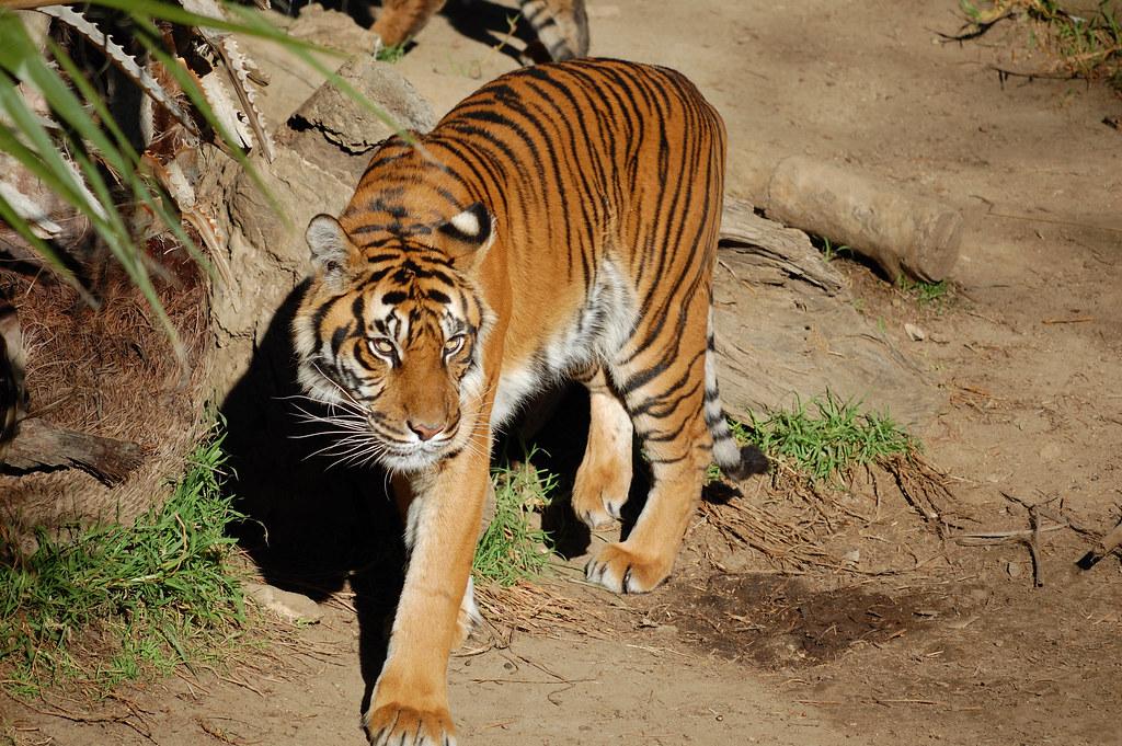 la zoo tiger