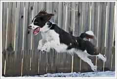 Take Off! (hz536n/George Thomas) Tags: winter dog oklahoma ess darwin springer springerspaniel stillwater 2007 damncool englishspringerspaniel canon30d canonef70200mmf4lusm p1f1 justhitmewithyourbestshot–10thplacedec2008photocontest