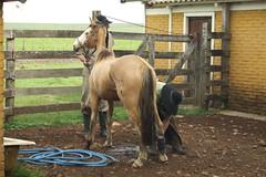 Livramento: M que terra gaucha! (Ivan Bustam@nte) Tags: brazil horse rio brasil criollo caballo cheval grande do cavalo pferd riograndedosul sul lida brsil paard gaucho gacho campeira bresilien criolo ivanovbr