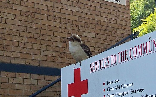 Kookaburra at Gosford