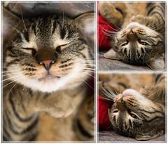 mrrr (Sakuto) Tags: macro cute animal cat eyes sweet sleep tiger dream kitty lovely triple f28 tamron28 aplusphoto