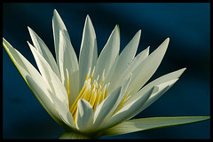 Purity (Eric Flexyourhead) Tags: white flower water yellow japan lily lotus bokeh excellence kakegawa kachoen naturesfinest zd olympuse500 40150mm shizuokaken diamondclassphotographer