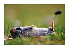 R.I.P. (fertraban) Tags: topo muerte mosca moscas ratn ltytr2 ltytr1 topillo 6retos6