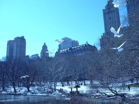Central Park Gulls
