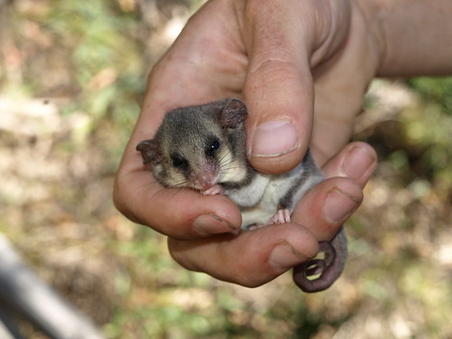 eastern pygmy possum - photo #7