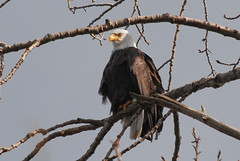 This eagle's in the Arboretum, but maybe one will visit the Hill. Photo by Steve Voght.