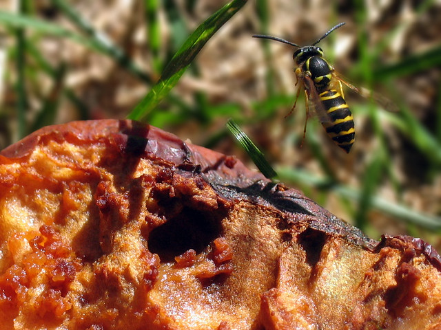 Eastern Yellowjacket (Vespula maculifrons) female Worker