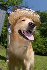 Happy Cinco de Mayo (Goody.) Tags: dog goldenretriever sombrero d200 cincodemayo nikon1755mmf28