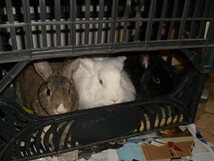 S7300043 (delilah84) Tags: bunnies animals guinea pig cavy rabbits animaux rodents fritz animali aku suria ronja conigli porcellino lapins cavia lagomorphs rongeurs roditori peruviano lagomorfi