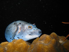 Dog-Faced Puffer