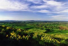 wide open spaces (manyfires) Tags: flowers film field sunrise landscape washington hill pacificnorthwest fields wildflowers palouse balsamroot nikonfm wideopenspaces steptoebutte lepelouse