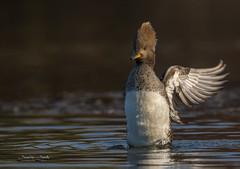 Hooded Merganser (Jamie Lenh Photography) Tags: nature wildlife outdoor hoodedmerganser nikon d7100 tamron 150600