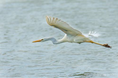 Great blue heron white morph - Flamingo, Everglades, FL