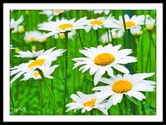 DEDICATA (Gian Pietro ...) Tags: flowers flower verde nature garden nikon shot giallo bianco margherita naturalmente d80 nikond80 anawesomeshot