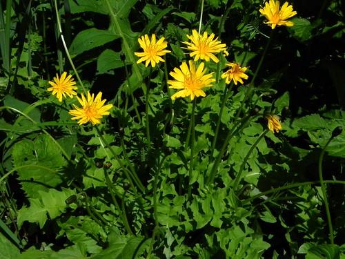 Aposéris fétide=Aposeris foetida - le long du sentier Mont d'Armenaz 076