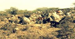 DSC09131-001 (vaibhav_bn) Tags: beautiful bush stones delhi goat jungle