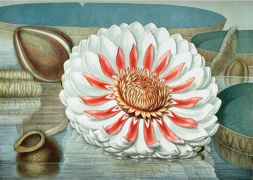 Great Water Lily of America by John Fisk Allen