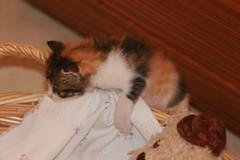 Murcia07_1005 (joa) Tags: spain kitten murcia gatita