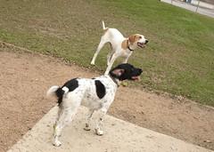 DSC01527.JPG (Web_Anna) Tags: park family nature grass sisters outside puppies birddog cutedogs blackandwhitedog dogwrestling englishspringerspaniel fortwoof dogsmile huntingdogs americanfoxhound brownandwhitedog playingingrass