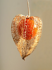 Chinese Lantern (Lazy B) Tags: november orange fruit network lacey fz5 2007 decomposed papery chineselantern covering physalisfranchetii