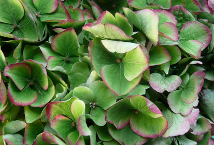 Green Hydrangea wedding flowers