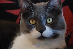 (rhythm beating silence aka rbs) Tags: cats pets animals bestofcats