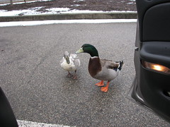 Give a duck or two a ride