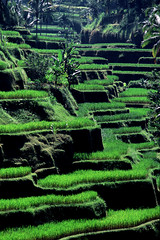 Rice pads - Tellalalang, Bali, Indonesia (miguel valle de figueiredo) Tags: bali indonesia rice traditions smrgsbord naturesfinest tradies 10faves 35faves ricepads anawesomeshot colorphotoaward superbmasterpiece ysplix betterthangood goldstaraward beautifulbali terraosdearroz exceptionallybeautifulbaligallery