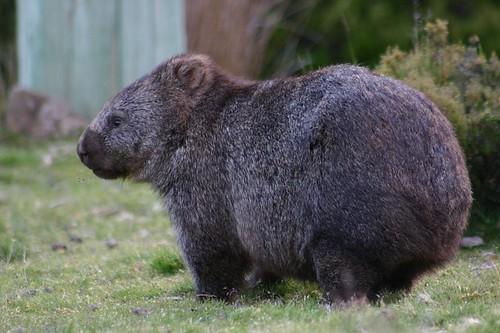 Wild wombat...