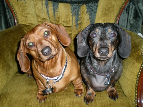 Black lab dachshund mix dachshund and lab mix dapple dachshund