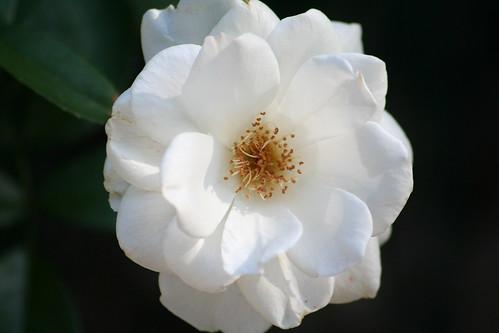 rose - iceberg