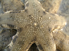 Closeup of Seastar