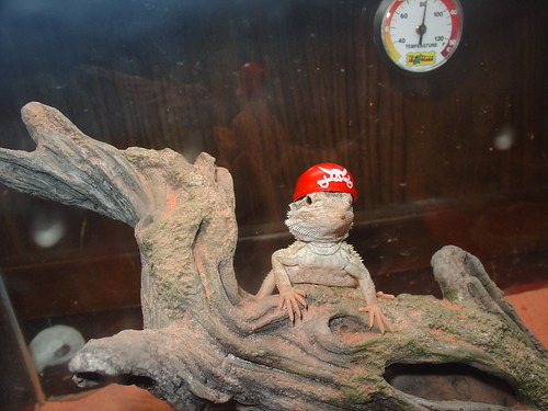 how to make bearded dragon clothes