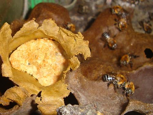 Pote de pólen aberto para foto M. scutellaris (uruçu)