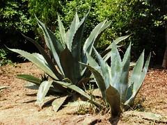 Hello Vera (RoystonVasey) Tags: summer garden succulent aloe cornwall fuji nt 2006 national finepix vera aloevera kernow glendurgan turst f440 glendurgangarden
