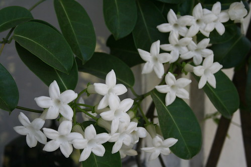 Stephanotis Floribunda by Jose y Cote.