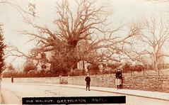 Old Walnut Tree, Bretforton, Ireland (Postcard) (yvern99) Tags: ireland tree sepia postcard walnut realphoto
