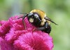 What's the Buzz (Chux-pix) Tags: macro bigmomma photofaceoffwinner photofaceoffplatinum pfogold thechallengefactory tmoacawardwinner july08pfobrackets