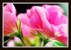 mon5 (Cyn~) Tags: flowers macro flickr awesome blossoms estrellas blueribbonwinner abigfave