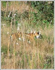 MP 635 (coloured glass) Tags: tiger royalbengaltiger bandgavgarh