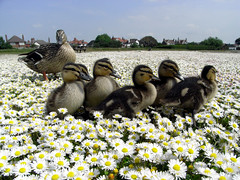 duck squad (darkroom344) Tags: park flowers summer brown sun cute bird nature beautiful sunshine carpet duck babies wildlife duckling mother adorable fluffy waterbird tiny daisy mallard protective nurture maternal