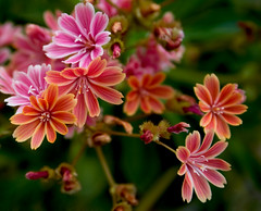 Lewisia Cotyledon Hybrids (Tabitha loves) Tags: pink flowers green canon 400d canoneos400d harlowcarrgardens lewisiacotyledonhybrids