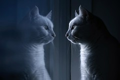 Do I know you? (Villi.Ingi) Tags: blue reflection window cat canon mirror feline calm getty lotta gettyimages pipc dapa canonef100mmf28macrousm 40d dapagroup bestofcats dapagroupmeritaward theunforgettablepictures platinumheartaward world100f dapagroupmeritaward3 dapagroupmeritaward4 dapagroupmeritaward2