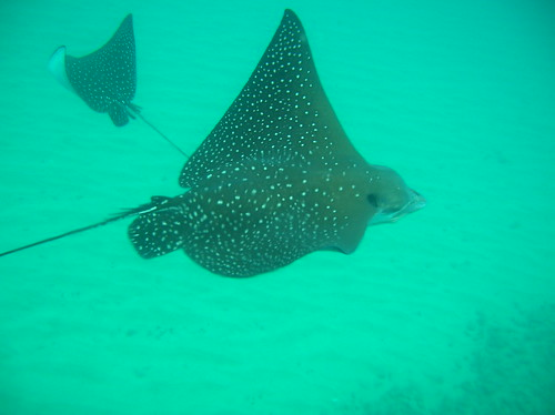 Maui - Black Rock (Ka'anapali) - Eagle Rays
