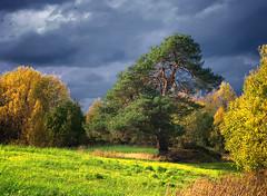 My Favourite Pine (Krogen) Tags: autumn oktober norway pine landscape norge norwegen noruega nes scandinavia akershus furu høst romerike krogen landskap noorwegen noreg skandinavia olympuse3 zuikodigital918mm