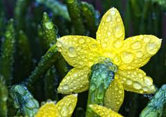 52/365: Raindrops - Explored (Den's Lens 2000) Tags: 2017 365 daffodil flower waterraindrops