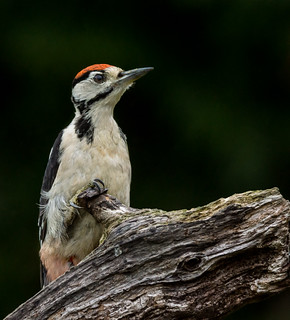 Woodpecker_Juvenile