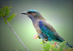 Indian Roller (JuttaMK) Tags: india assam kaziranga lilacbreastedroller specanimal explore54 avianexcellence vosplusbellesphotos mauekay