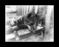 Soft-Focus Bailey: Some Sentimental Nonsense (Verna Jarrett) Tags: cats cat kitten kat chat kittens gato katze macska gatto kot kedi katt kissa pisica
