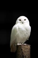 _MG_1112 (Adrian Hamilton) Tags: owl newforest snowyowl benhill longdown otterowlsanctuary